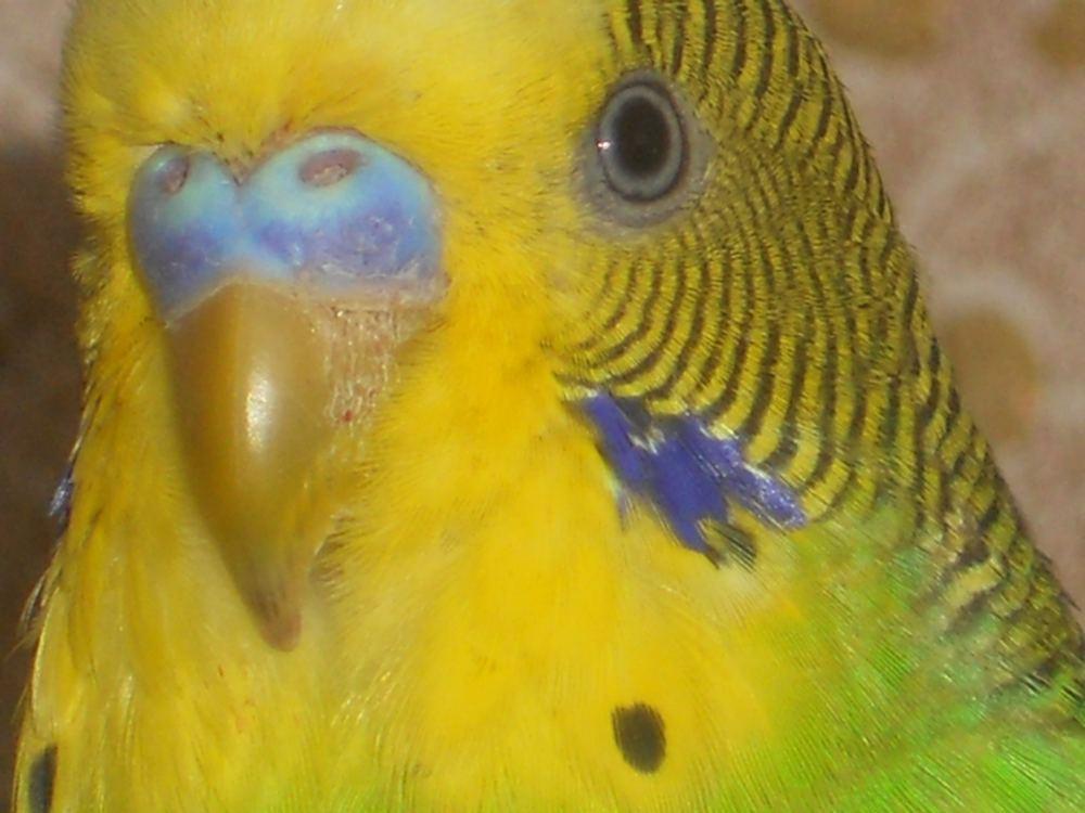 Понос У Волнистого Попугайчика Как Лечить