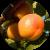 Полезные и лечебные свойства абрикосов