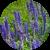 Ароматерапия: эфирное масло лаванды