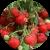 Садовая земляника в народной медицине: лечение и рецепты