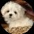 Карманная собачка: самые маленькие породы