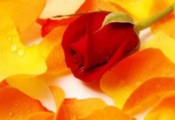 Роза и ее лепестки - для красоты и здоровья человека