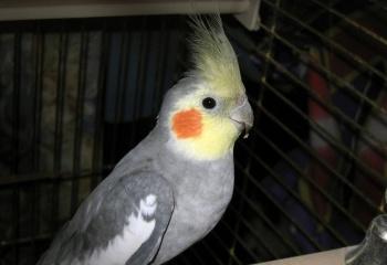 Попугаи корелла: особенности содержания в домашних условиях