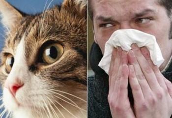 Аллергия на кошачью шерсть. Симптомы и лечение