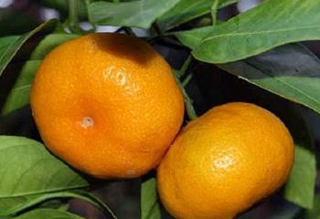 Мандарины: химический состав и лечебное применение мандаринов
