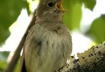 Как пение птиц влияет на человека?