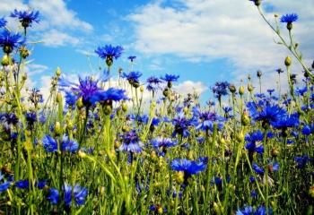 Мочегонные травы и противопоказания к применению