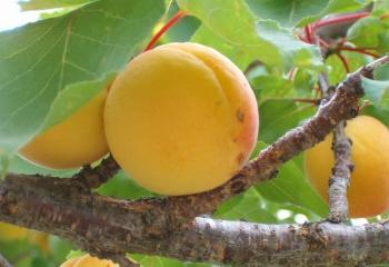 Масло абрикосовых косточек: состав, свойства и применение