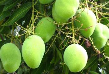 Как использовать эфирное масло манго в косметологии для кожи лица, тела и волос