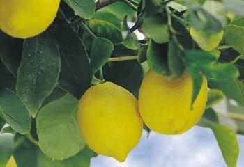 Масло лимона в косметологии для кожи, ногтей и волос