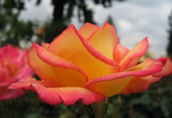 Розовое масло для ухода за кожей лица