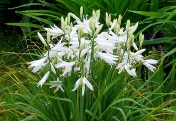 Парадизея - райский цветок