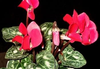 Как выбрать цветущие комнатные растения