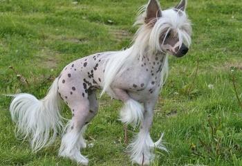 Собаки в индустрии моды: китайская хохлатая