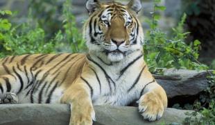 Как нарисовать тигра поэтапно